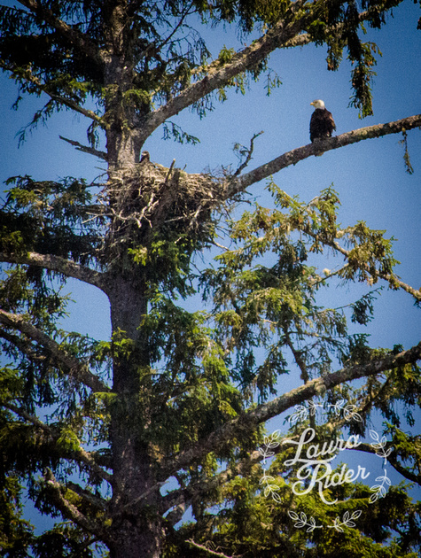 Bald Eagle Homelife